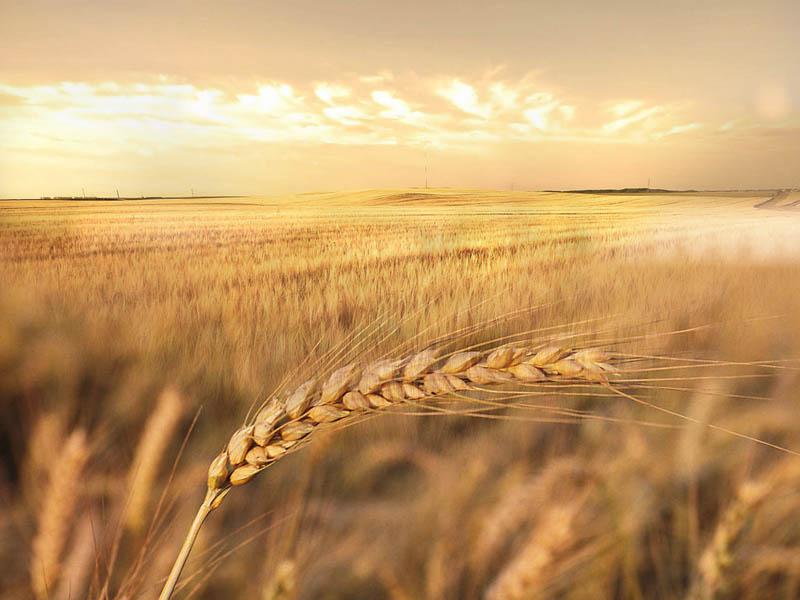 谁囤积优质强筋小麦谁挣钱