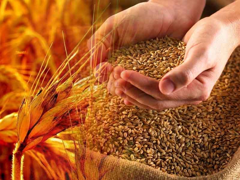 九月份小麦价格上涨行情可期待!