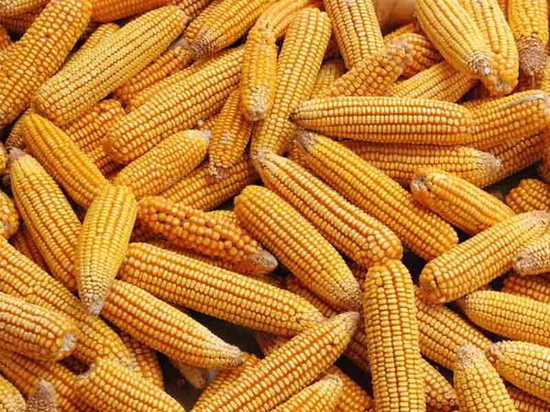 玉米上行承压