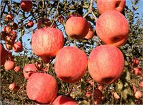 从低价滞销到供不应求:甘肃静宁年货苹果脱销见闻
