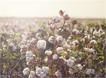 分析人士:棉花期价短期或维持振荡