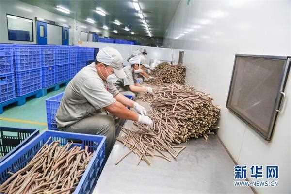 康美中药生产工匠用技术和劳动助力中药材华丽蜕变