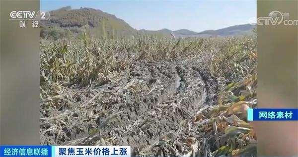 玉米价格每吨涨千元!专家:灾情并非主因