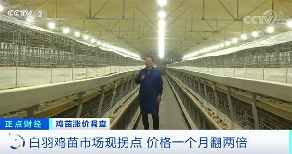 涨涨涨!鸡苗价格一天一个价 疯狂到一个月翻两倍!鸡肉会变贵吗?