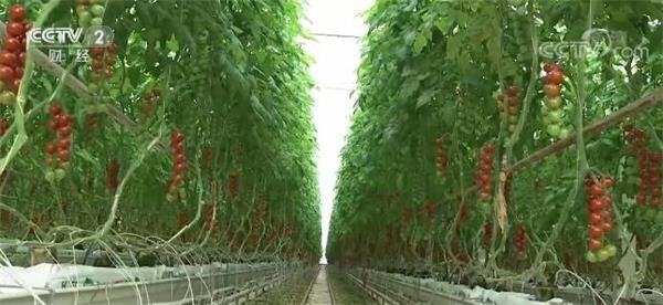 科技助力工厂化生产 冬春蔬菜供应有保障